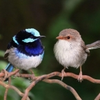 cropped_Superb_fairy_wrens-582x388
