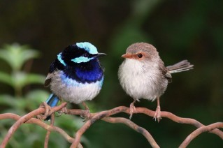 Superb_fairy_wrens-582x388