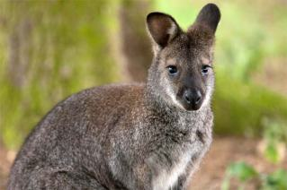 wallaby--1