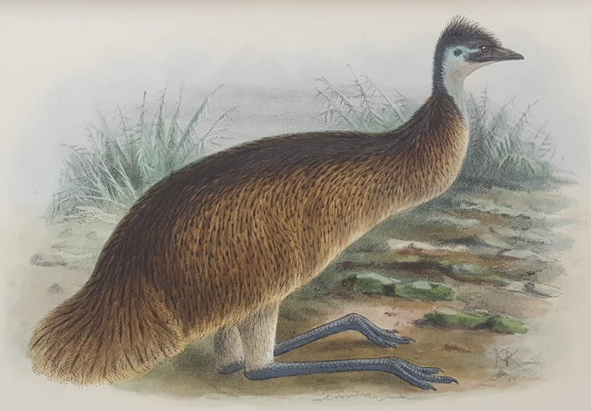 TasEmu: Artwork by J. G. Keulemans from The Birds of Australia by G. Mathews (1910)