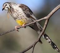 YellowWattlebird