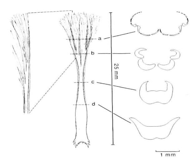 tonguemorphology